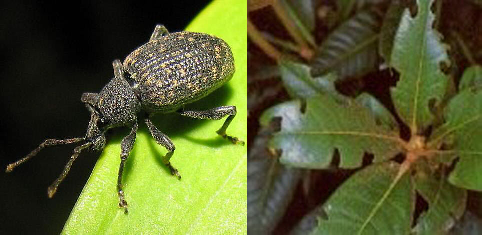 adult black vine weevil